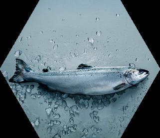 Qrill Aqua, krill in salmon feed