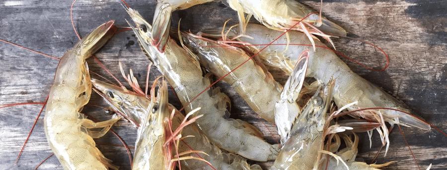 QRILL Aqua - shrimp hero image
