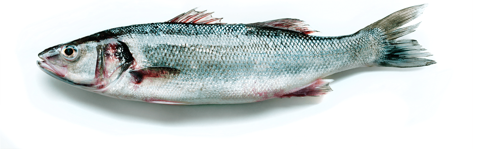 seabass tiny png3.png