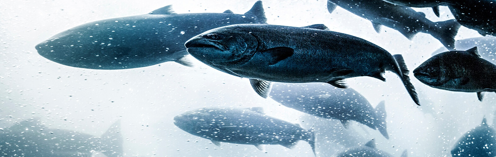 Qrill aqua - krill to ensure fish health.jpg