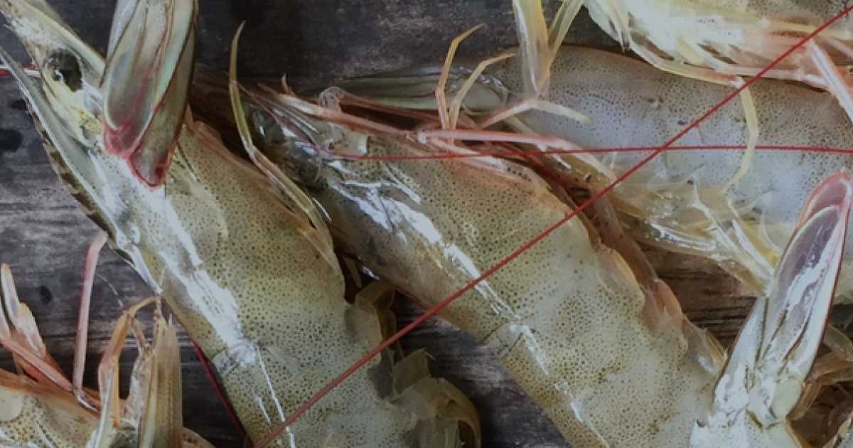 Aqua_Shrimp study blog_Header